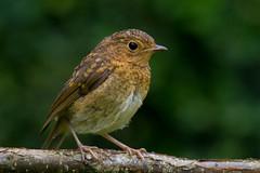 The Explorer (Mukumbura) Tags: explorer robin bird branch tree garden nature wildlife britain erithacusrubecula robinredbreast juvenile baby