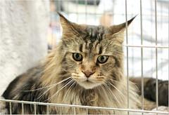 Happy Caturday ! (Simply Viola) Tags: pet animal cat feline felino gatto mainecooncat mostrafelina