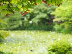 maple seeds frame (kokemomiji) Tags:      japan kyoto oharanoshrine maple leaves green white  bokeh