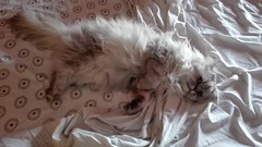 Relaxed Persian cat in the bed (romeosilverpersian) Tags: relaxed persian cat romeo silvercat chinchillapersian beautifulcats bed