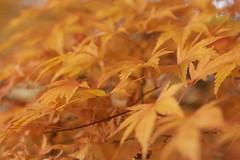 focus on the yellow bit (diminoc) Tags: tree texture leaves yellow closeup leaf maple pattern arboretum westonbirt