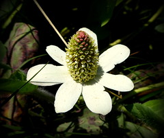 Guajome Park (Debaleb) Tags: flower yerba mansa