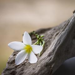 Sutileza (Claudia Pino) Tags: flowers flores flower blanco fleur 50mm colombia flor tronco isla noni sanandres fuerte delicado canon6d claudiapino claudiapinofotografica wwwclaudiapinocom
