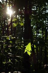 s237 - Leaf (Suarrilk) Tags: wood morning light forest leaf