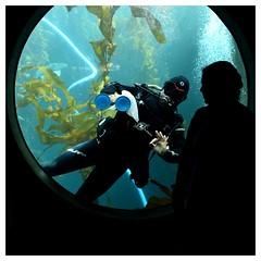 Fable : L'homme-grenouille qui voulait se faire plus gros que l'œil de bœuf (Photocégé) Tags: scaphandre aquarium hublot nettoyage algues silhouette ventouse glasscleaner hommegrenouille