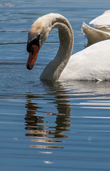 Drippy & Rippled (Jay:Dee) Tags: topw toronto photo walks topwdbrf16 dragon boat race festival swan bird avian