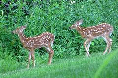 Neighborhood Twins (mudder_bbc) Tags: twins deer fawns whitetaileddeer