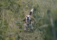 Don't leave me! (James Andrew West) Tags: dog beagle grass zeiss long 85mm running 18 batis a6300