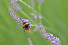 Summertime (dfromonteil) Tags: bug bourdon pollinisation pollinate lavande lavender fleur flower green vert purple violet pourpre colors couleurs macro bokeh light nature insect insecte
