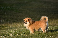 Looking out (LG3 photo) Tags: sunset dog cute green dogs grass moving looking dusk small watch meadow ready