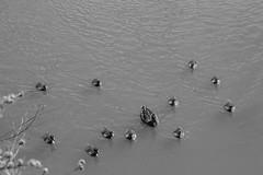 Family Of Ducks (newbiephoto92) Tags: uk family blackandwhite baby lake water nikon cheshire feathers ducks ducklings nantwich d3200