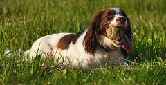 Playtime..... (MWBee) Tags: ball warrington nikon cheshire moore d750 spaniel springer springerspaniel dogagility moorecameraclub mwbee