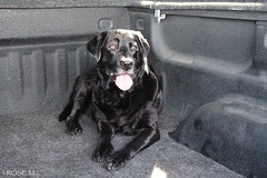 I.ROSE.M. #Jax baby ready to go (idarosemarcantonioakai.rose.m.) Tags: boy dog black labrador jax jaxie