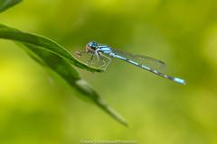 Agrion Jouvencelle (Yves Kroack) Tags: libellulebleue bleu t yveskroackphoto jardinbotanique vert marais