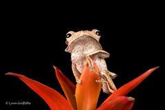 Borneo Eared Frog - Nice pose D75_2640.jpg (Mobile Lynn) Tags: england nature unitedkingdom ngc amphibian frog npc gb captive bournemouth greatphotographer coth specanimal borneoearedfrog coth5 sunrays5