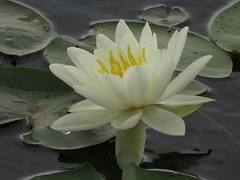 Water Lily (deu49097) Tags: water lily