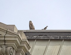 Red-tail and mockingbird (Goggla) Tags: nyc new york manhattan east village urban wildlife bird raptor red tail hawk fledgling juvenile charas mockingbird