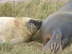 Grey seal (Peanut1371) Tags: mammal seal pup greyseal donnanook nationalgeographicwildlife