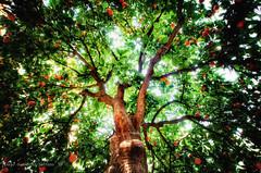 Orange Tree (Di Gutti (diegogutierrez79@gmail.com)) Tags: light tree verde green frutas fruits arbol sevilla pov seville andalucia inside andalusia naranja hdr dentro orangetree gettyimages iluminacion sevilha ramas siviglia barriodesantacruz naranjo diegogutierrez arvre sevillan canoneos450d tokina1116 sevillban