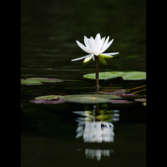 (Masahiro Makino) Tags: white plant flower reflection japan photoshop kyoto waterlily olympus adobe   70300mm lightroom  f456 zuikodigital e410 20080730092853e410ls640p