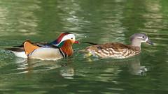 _MG_2564.jpg (ZySeb) Tags: birds aves mandarinduck oiseaux aixgalericulata anatidae anatids canardmandarin ansriformes