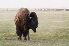 Badlands full of bison (Denzil Burriss) Tags: heritage nature southdakota canon photography buffalo wildlife july badlands dslr bison badlandsnationalpark 2012