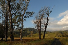 Back Creek Road (dustaway) Tags: road trees mountain clouds pasture eucalyptus gumtree treescape gravelroad deadtrees myrtaceae hillsides eucalyptustereticornis forestredgum