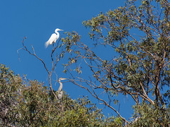 Egret and Great Blue Heron in a Tree (donjd2) Tags: california tree bird unitedstates losgatos greatblueheron greategret vasonalakepark