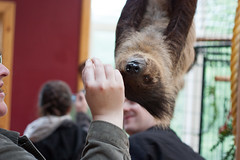 Sloth seems pleased with food? (r.e.s) Tags: sloth zoologicalwildlifeconservationcenter