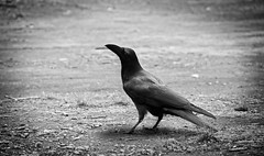 The Crow (Pixelglo Photography) Tags: blackandwhite bw bird blackwhite nikon dof bokeh depthoffield crow raven blackbird animalplanet theraven darkcrow thecrow d80 smoothbokeh nikond80