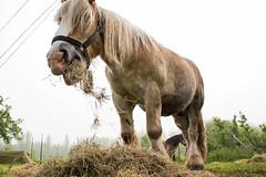 Karabana (Jan Slangen) Tags: horses horse cheval belgium belgique belgie belgi vrienden dieren alken limburg personen chevaux paard paarden vlaanderen karabana