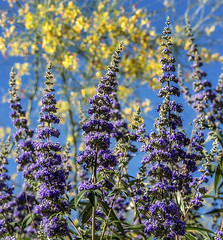 Butterfly Bush (DPRPhoto) Tags: flowers spring desert joshuatree