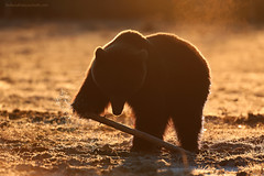 Morning light (Stefano Franceschetti) Tags: bear finland hide orso brownbears orsobruno wildbears stefanofranceschetti