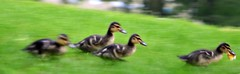 Baby ducks (s7a7r7ge) Tags: baby ducks cologne kln bb canards
