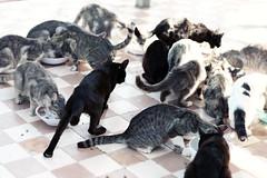 i gatti della nonna (Sara Fasullo) Tags: cats animal eating fame gatti cibo sicilia mangiare