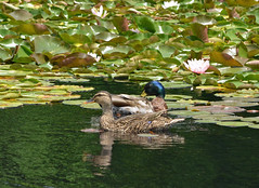 Water Lily Paradise (riknran-can) Tags: summer pond ducks waterlilies
