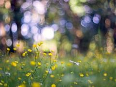 Wiesenblumen (~janne) Tags: plant flower berlin nature grass 50mm licht weide flora bokeh f14 natur pflanzen meadow wiese olympus pasture environment gras blume schlosspark charlottenburg wetzlar umwelt leitz chelidoniummajus kringel schöllkraut manuell summiluxr e520 bolioczko