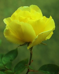 Yellow Rose flower (ekaterina alexander) Tags: flowers roses summer england flower nature june rose yellow gardens garden photography sussex alexander ekaterina