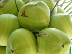 Coconuts (alansurfin) Tags: coconuts palm tree tropical trees florida keys drupe coconut green