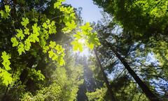 A stroll in Muir Woods (xtremepsionic) Tags: sanfrancisco california trees sun leaf log muirwoods redwood la2013 mandytrinh