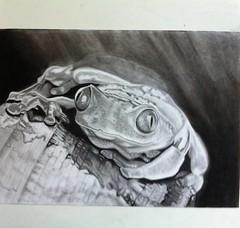 Frog / Rana (Giuseppe Mameli) Tags: art wet pencil artist drawing derwent natura frog charcoal rana dibujo acqua pioggia matita disegno anfibio uploaded:by=flickrmobile flickriosapp:filter=nofilter