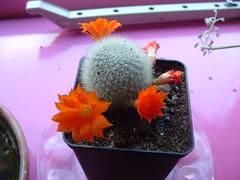 Rebutia flavistyla-2 (Ruud de Block) Tags: cactaceae rebutiaflavistyla ruuddeblock