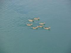 Water Fowl Flotilla  03 (aeverett55) Tags: water birds river canal michigan ducks greatlakes mallard waterfowl upperpeninsula waterbirds saultstemarie