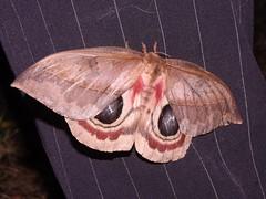 NMW - Moth 2 (Dis da fi we) Tags: moth puntagorda toledo belize mothweek nationalmothweek hickateebelize hickateepuntagorda jungle rainforest forest wildlife culture cottages hickatee