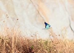 Come una freccia.. (Dilet) Tags: natura uccelli birdwatching animali ghiandaia cupinoro