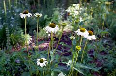 Daisies & Bees (Dsam7) Tags: daisies elmarredscale fujifilmsuperia leicaiif redscale elmar35 copyrightdsam7