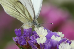 Kleiner Kohlweiling (Makropolis) Tags: macro canon butterfly 100mm libelle kleiner wanze fuchs fliege schmetterling heuschrecke heupferd schwalbenschwanz grashpfer distelfalter