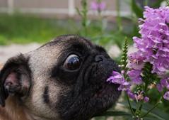 邪魔する子。 (e_haya) Tags: flower pug sonynex5