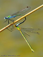 Emerald Damselflys. (spw6156 - Over 3,798,000 Views) Tags: copyright steve  iso micro nikkor emerald vr afs waterhouse 105mm f28g damselflys 640d800nikon