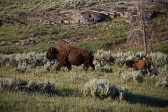 Femal with calf at Lamar Valley IMG_4810 (grebberg) Tags: usa mammal yellowstonenationalpark lamar yellowstone wyoming bison lamarvalley bisinbison